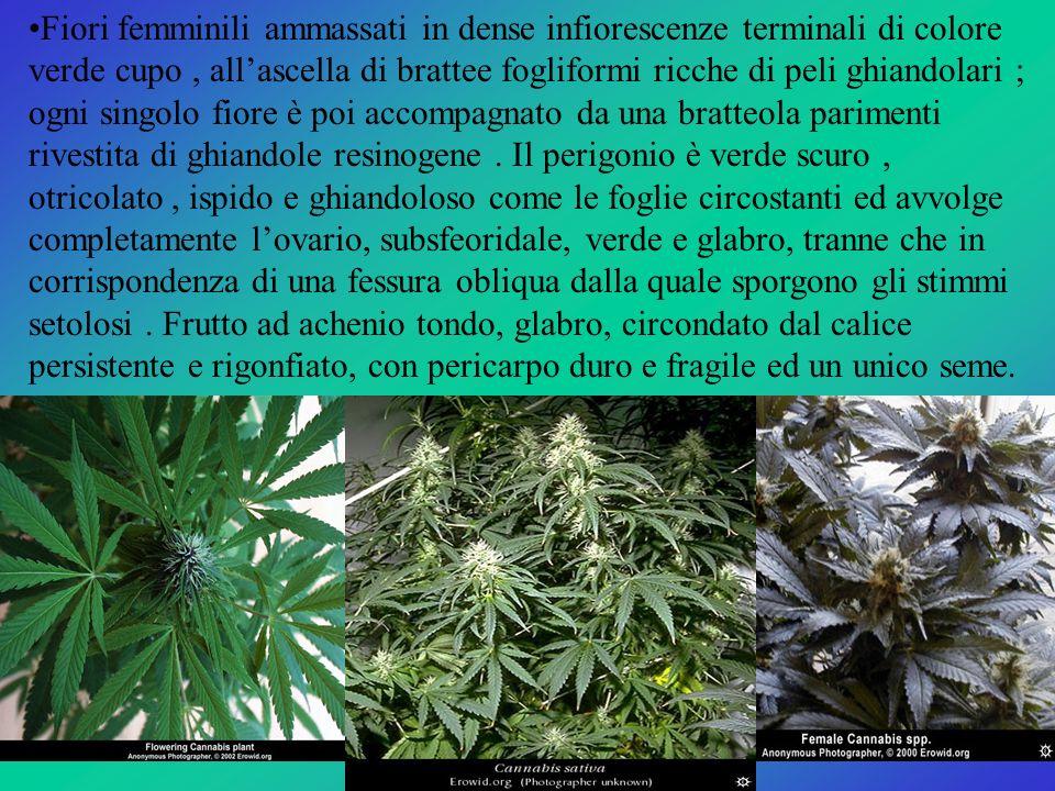 La resina, prodotta dai peli ghiandolari del fiore femminile, rappresenta la droga : miscela di sostanze psicoattive costituita da alcaloidi e soprattutto da cannabinoidi.