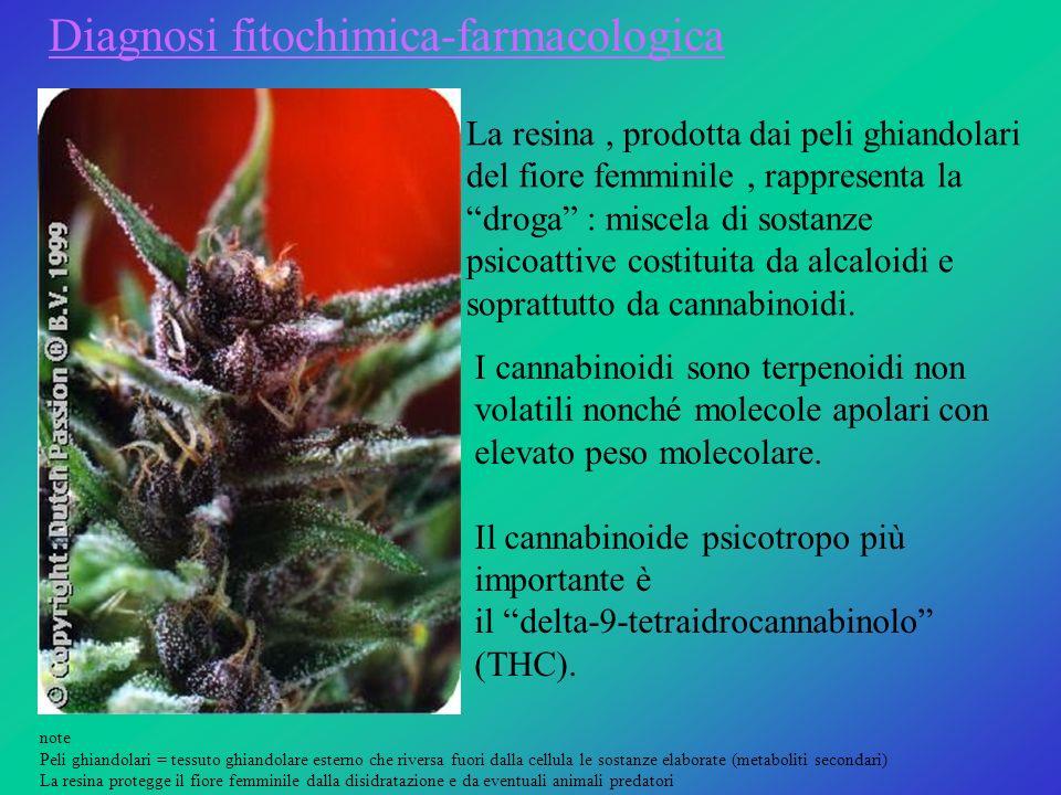 La resina, prodotta dai peli ghiandolari del fiore femminile, rappresenta la droga : miscela di sostanze psicoattive costituita da alcaloidi e sopratt
