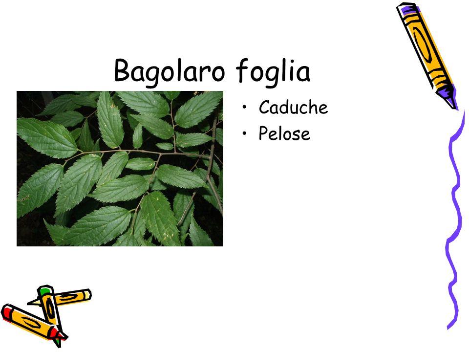 Bagolaro foglia Caduche Pelose