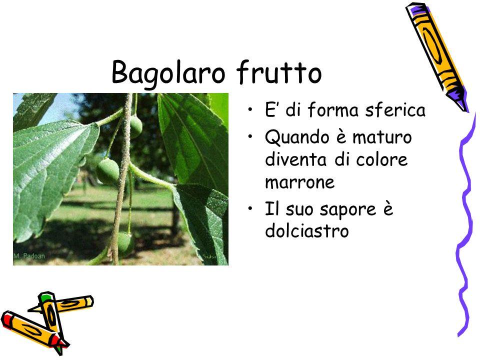 Bagolaro frutto E di forma sferica Quando è maturo diventa di colore marrone Il suo sapore è dolciastro