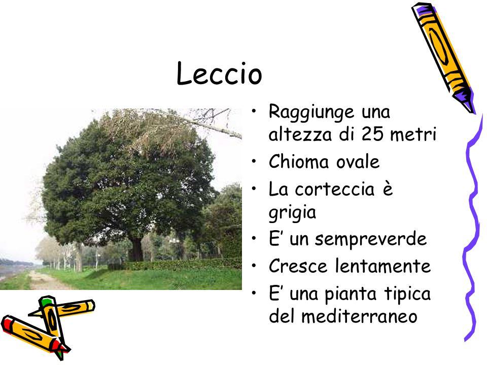 Leccio Raggiunge una altezza di 25 metri Chioma ovale La corteccia è grigia E un sempreverde Cresce lentamente E una pianta tipica del mediterraneo