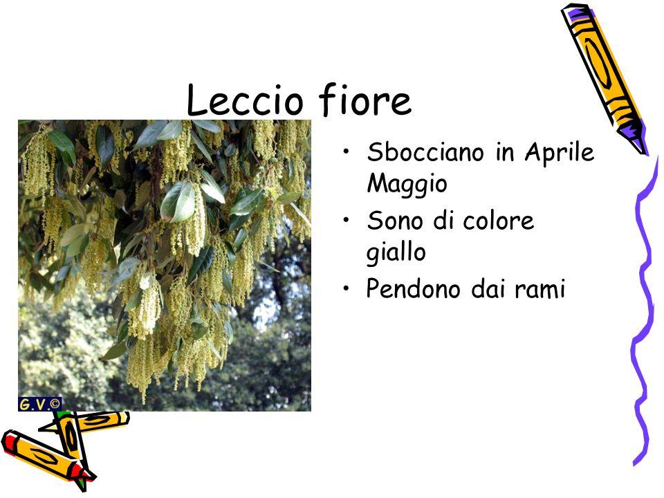 Leccio fiore Sbocciano in Aprile Maggio Sono di colore giallo Pendono dai rami