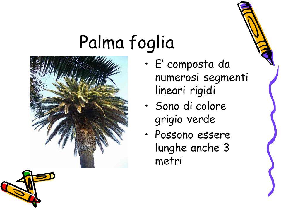 Palma foglia E composta da numerosi segmenti lineari rigidi Sono di colore grigio verde Possono essere lunghe anche 3 metri