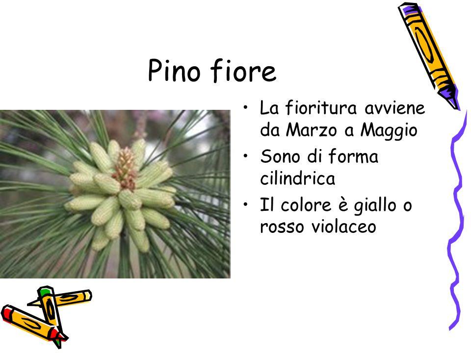 Pino fiore La fioritura avviene da Marzo a Maggio Sono di forma cilindrica Il colore è giallo o rosso violaceo