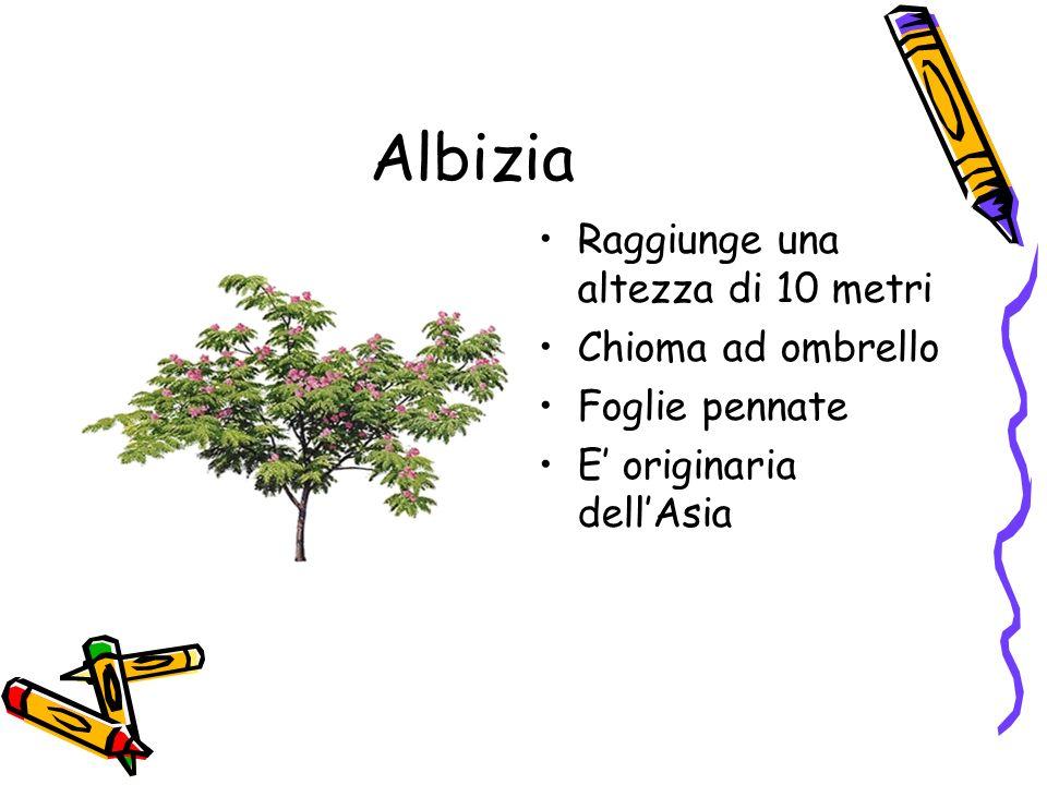 Albizia Raggiunge una altezza di 10 metri Chioma ad ombrello Foglie pennate E originaria dellAsia
