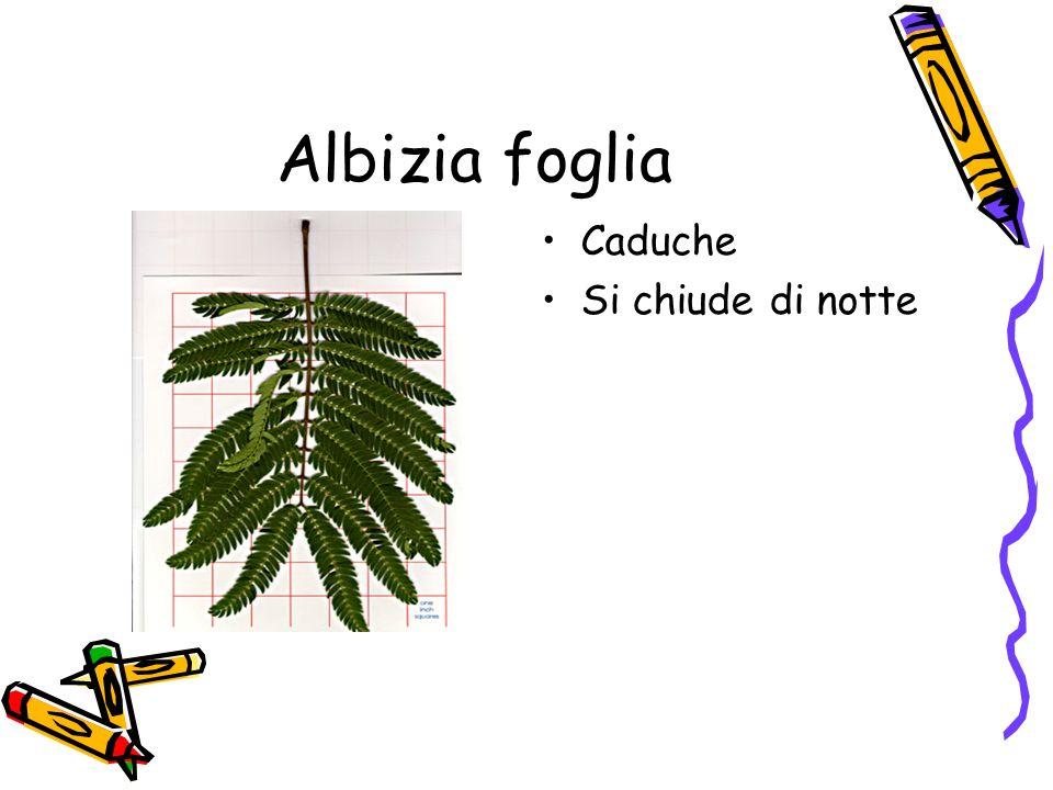 Tiglio Può raggiungere una altezza di 30 o 40 metri La chioma è globosa È una pianta proveniente dal Caucaso
