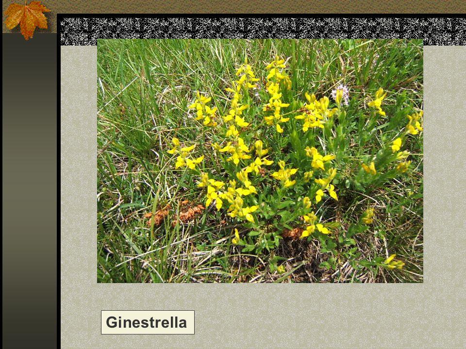 Ginestrella