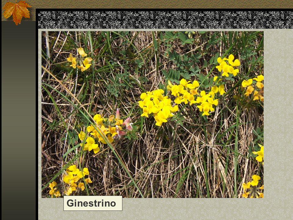 Ginestrino