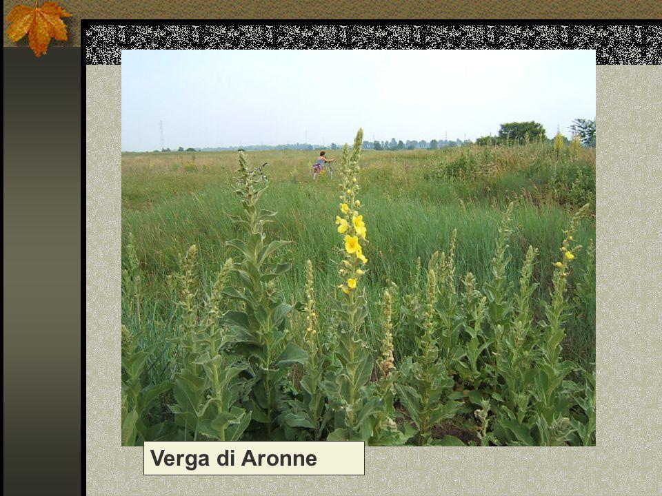 Verga di Aronne