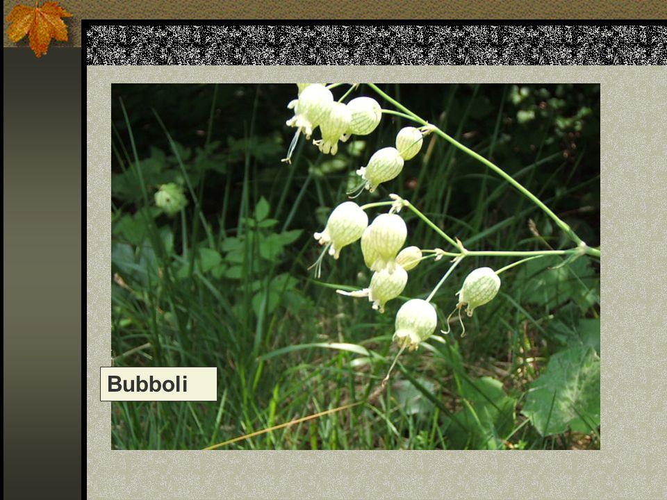 Bubboli