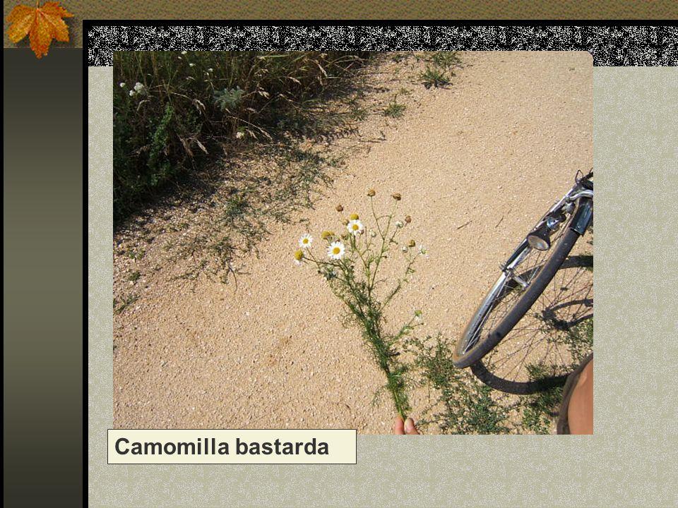 Camomilla bastarda