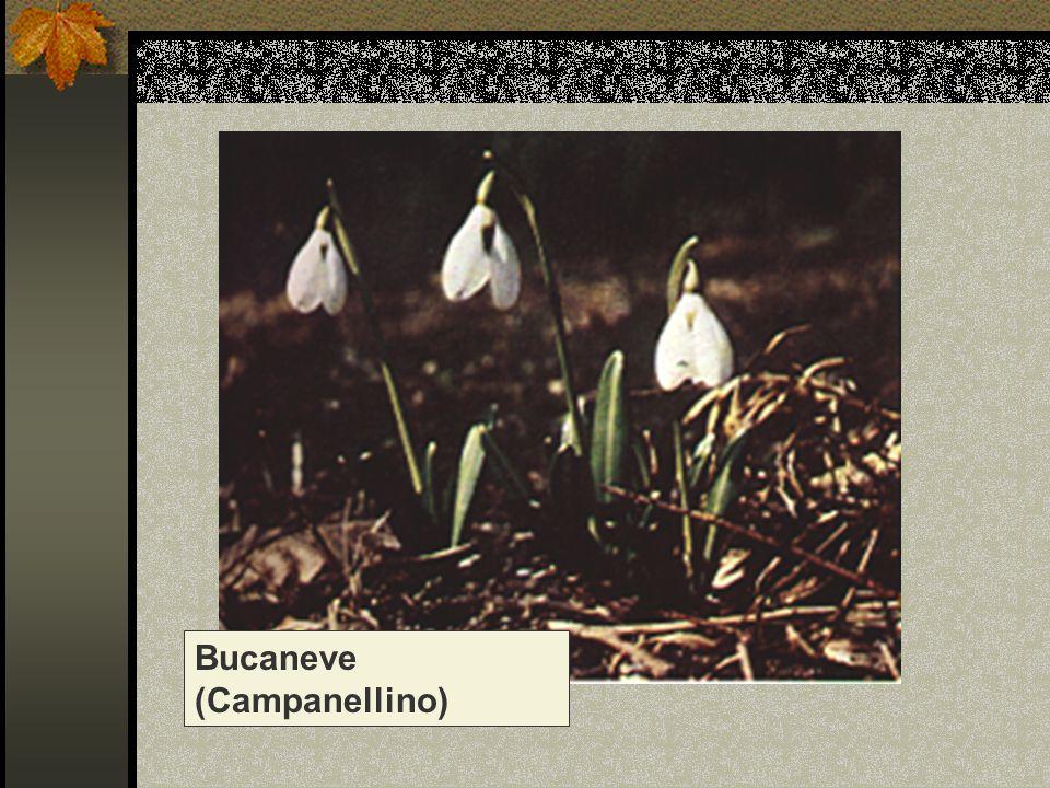 Bucaneve (Campanellino)