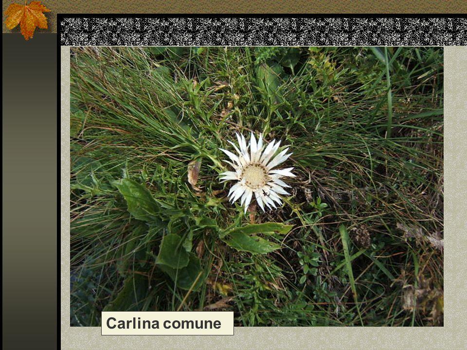 Carlina comune