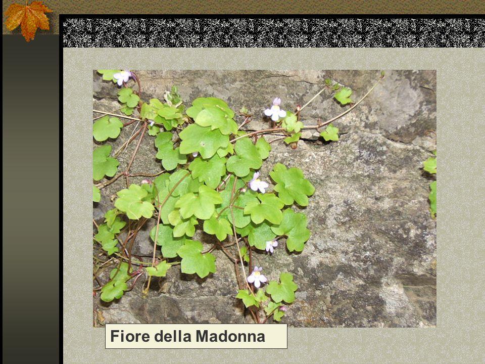 Fiore della Madonna