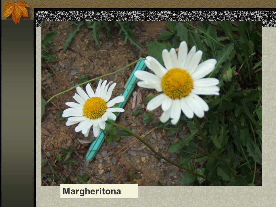 Margheritona