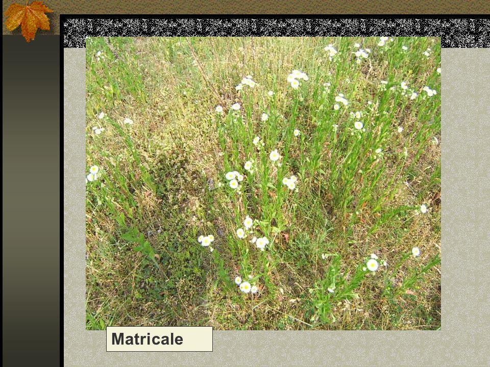 Matricale