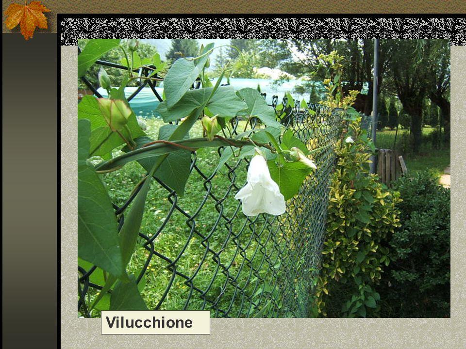 Vilucchione