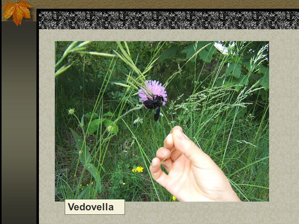 Vedovella