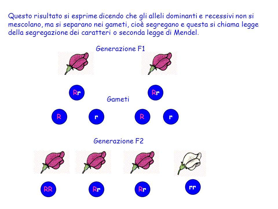 Dunque, tornando ai risultati di Mendel, la generazione F2 era composta per un quarto da individui a fiori rosa omozigoti dominanti (RR), per due quarti da individui a fiori rosa eterozigoti (Rr) e per un quarto da individui a fiori bianchi omozigoti recessivi (rr).