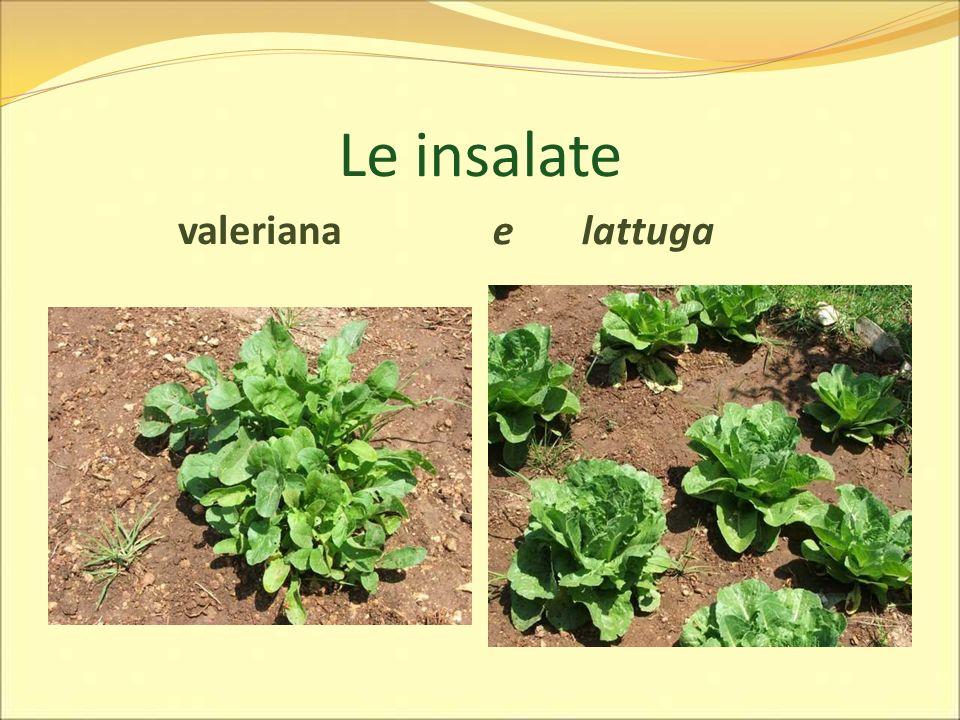 Le insalate valeriana e lattuga