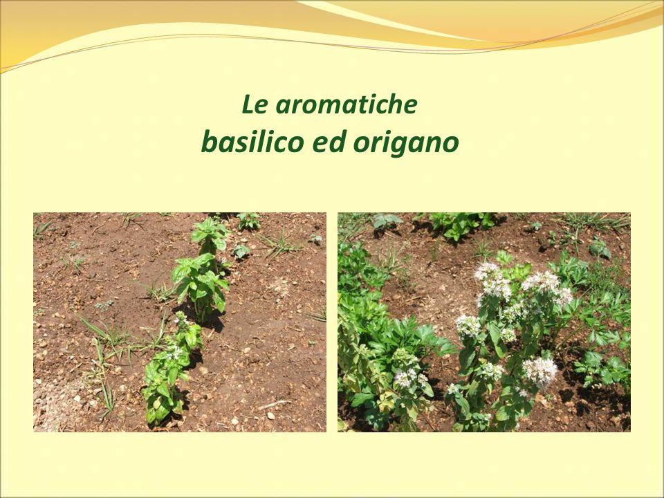 Le aromatiche basilico ed origano
