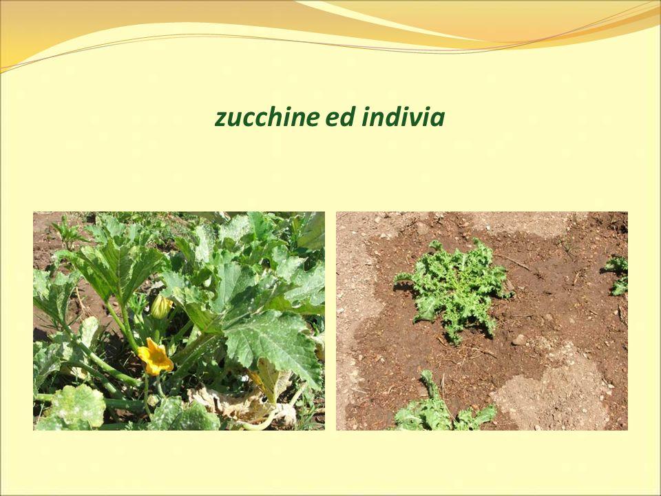 zucchine ed indivia