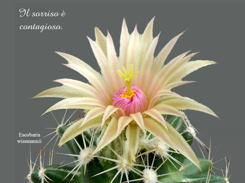 Echinocereus klapperi Non intristiamoci su cose che non possiamo modificare. Ricerchiamo sempre il lato positivo.