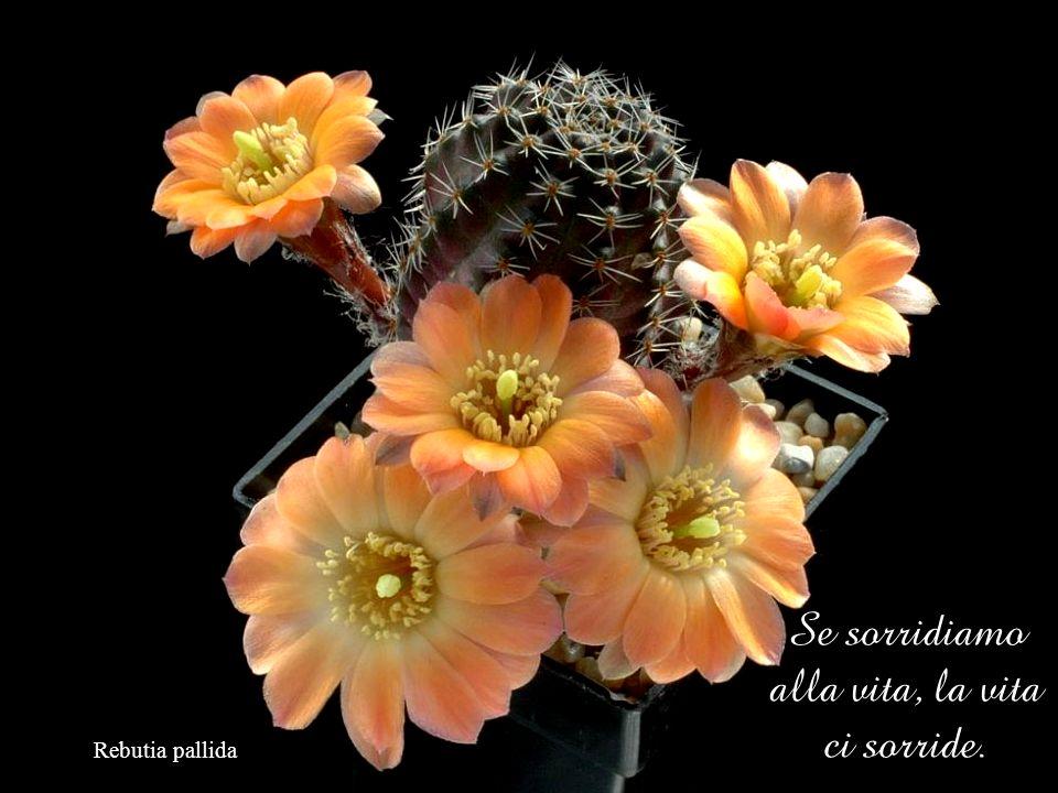 Escobaria wissmannii Il sorriso è contagioso.