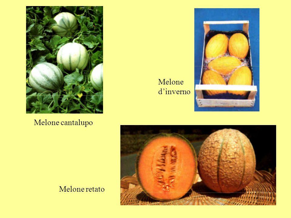 Melone retato Melone cantalupo Melone dinverno