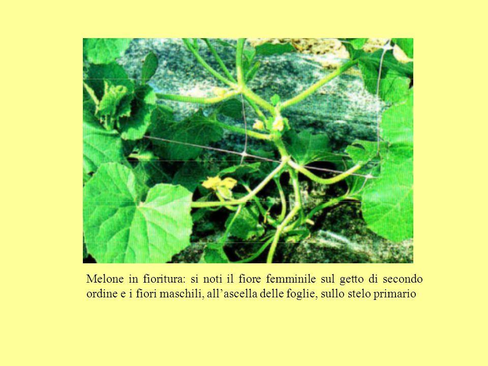 Melone in fioritura: si noti il fiore femminile sul getto di secondo ordine e i fiori maschili, allascella delle foglie, sullo stelo primario