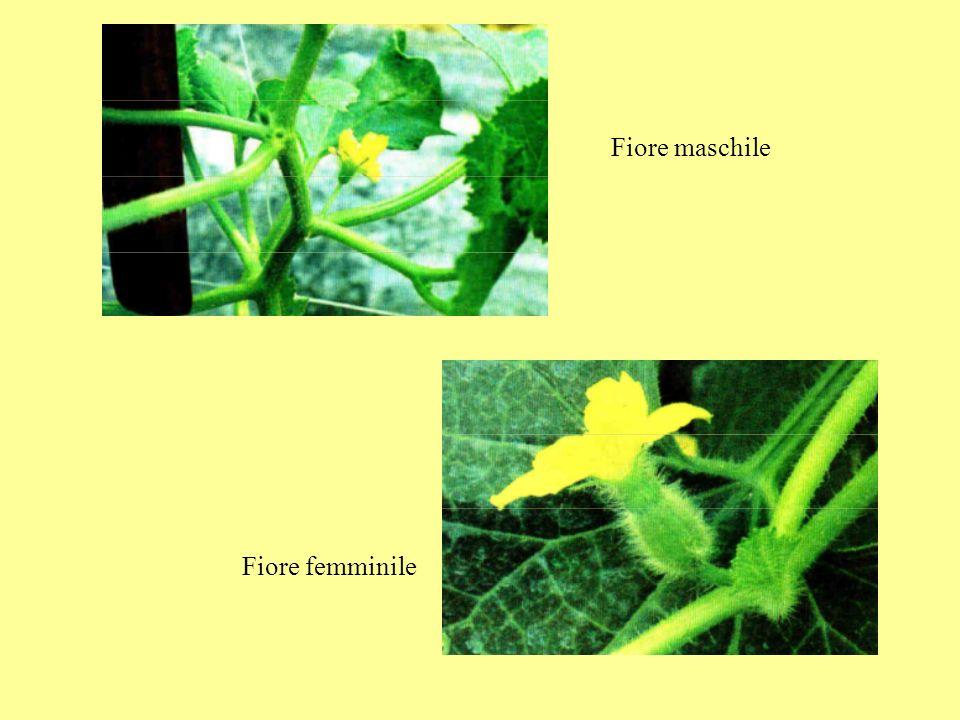 1-3: fiori maschili; 2: fiore maschile a sinistra, fiore femminile a destra; 4: fiore monoico a cui sono stati tolti i petali