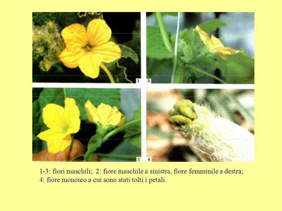 COMPOSIZIONE DEL FRUTTO ACQUA91 % Vitam.C (mg/100 g)30 GRASSI0.1 % Niacina (vit.