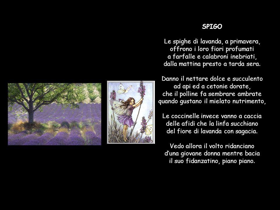 SPIGO Le spighe di lavanda, a primavera, offrono i loro fiori profumati a farfalle e calabroni inebriati, dalla mattina presto a tarda sera.