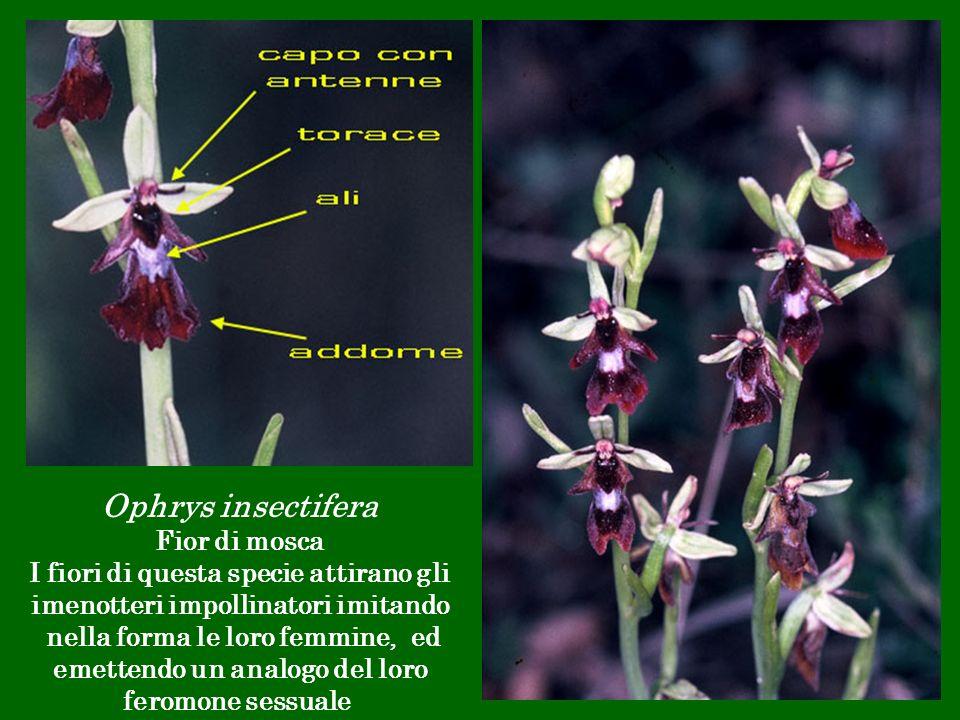 Ophrys insectifera Fior di mosca I fiori di questa specie attirano gli imenotteri impollinatori imitando nella forma le loro femmine, ed emettendo un
