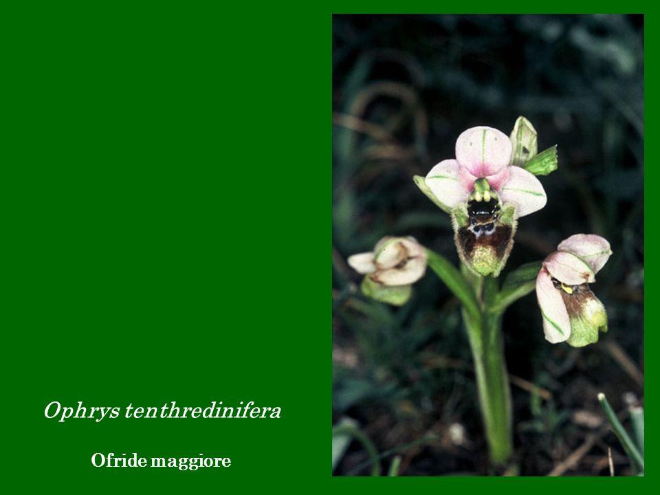 Ophrys tenthredinifera Ofride maggiore