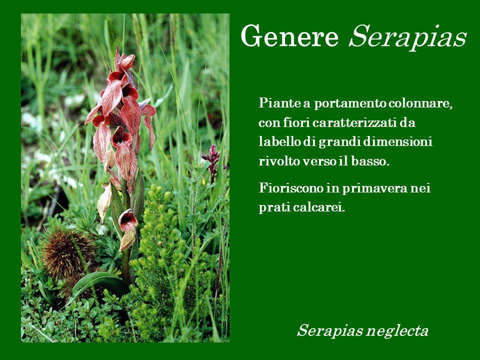 Genere Serapias Serapias neglecta Piante a portamento colonnare, con fiori caratterizzati da labello di grandi dimensioni rivolto verso il basso. Fior