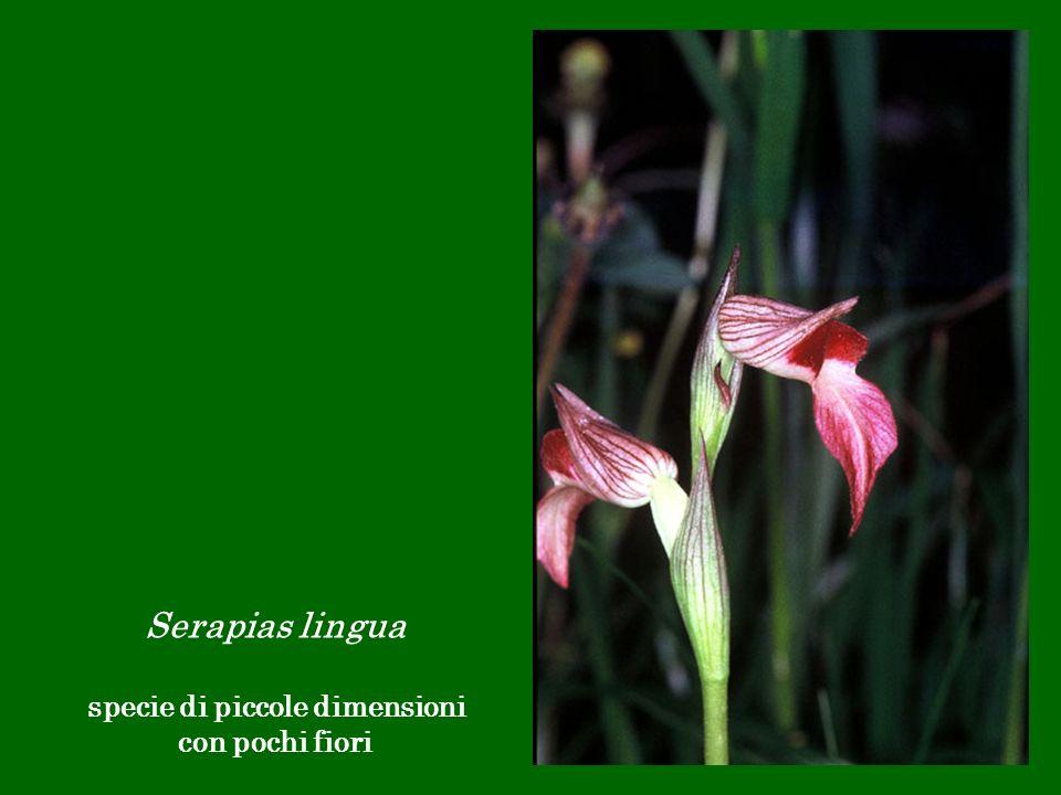Serapias lingua specie di piccole dimensioni con pochi fiori