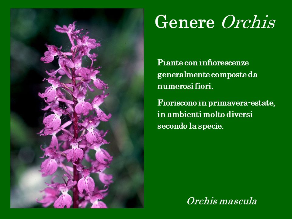 Genere Orchis Orchis mascula Piante con infiorescenze generalmente composte da numerosi fiori. Fioriscono in primavera-estate, in ambienti molto diver