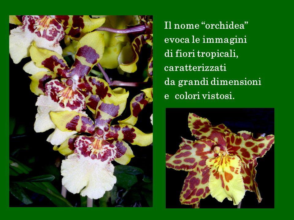 Il nome orchidea evoca le immagini di fiori tropicali, caratterizzati da grandi dimensioni e colori vistosi.