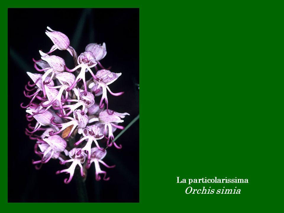 La particolarissima Orchis simia