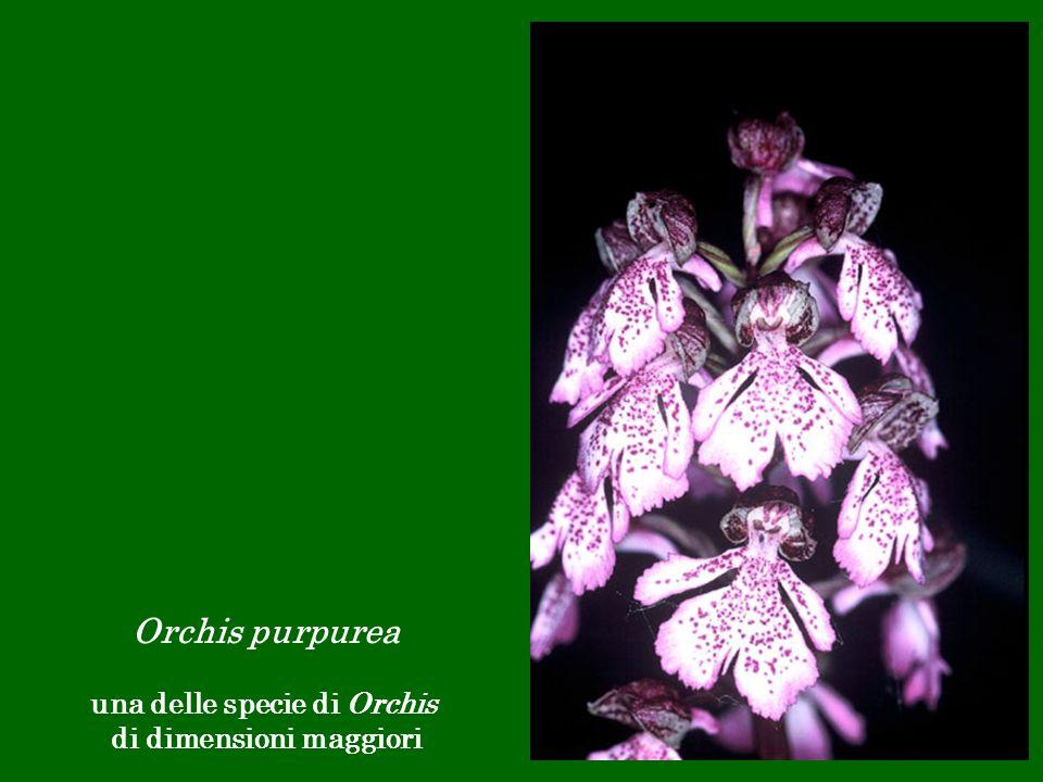 Orchis purpurea una delle specie di Orchis di dimensioni maggiori