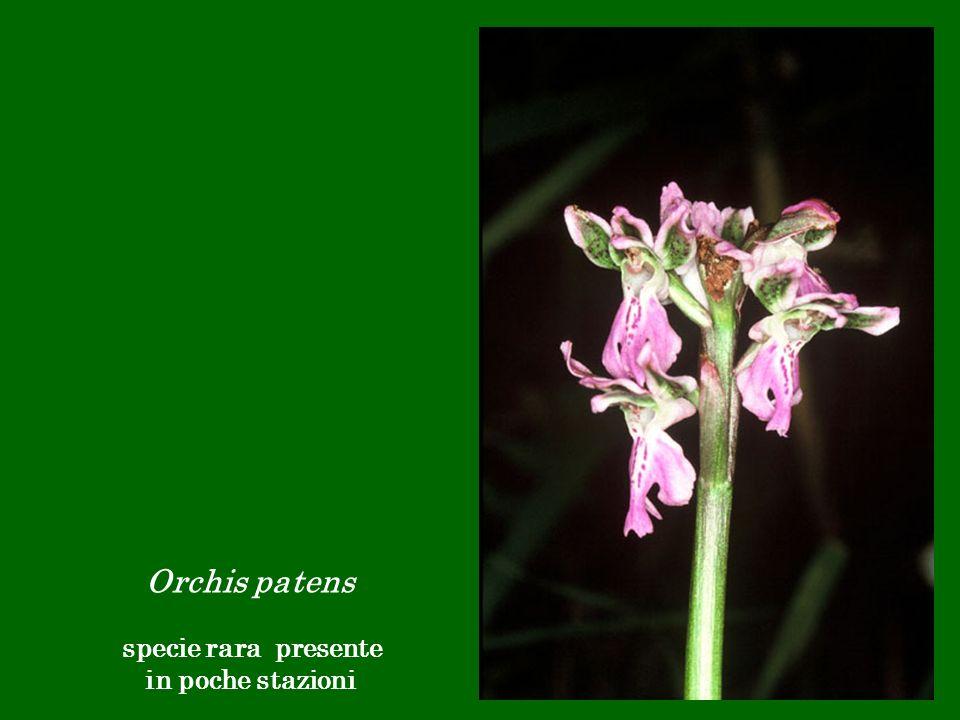 Orchis patens specie rara presente in poche stazioni