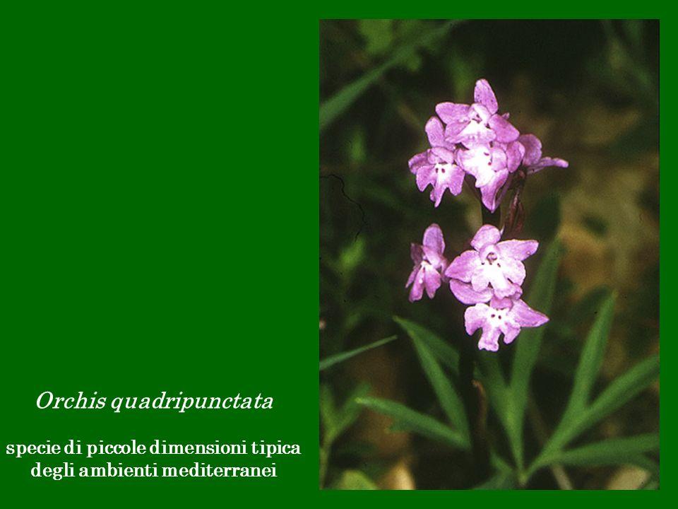 Orchis quadripunctata specie di piccole dimensioni tipica degli ambienti mediterranei