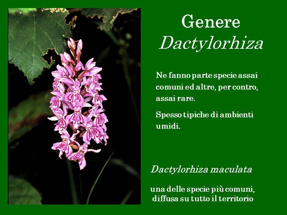 Genere Dactylorhiza Dactylorhiza maculata una delle specie più comuni, diffusa su tutto il territorio Ne fanno parte specie assai comuni ed altre, per