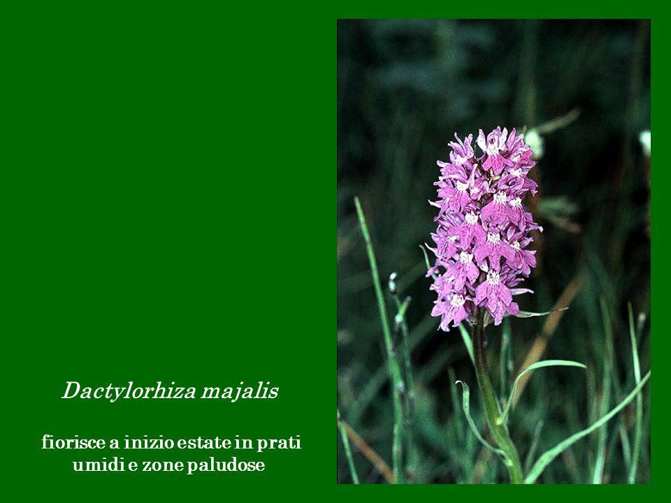 Dactylorhiza majalis fiorisce a inizio estate in prati umidi e zone paludose