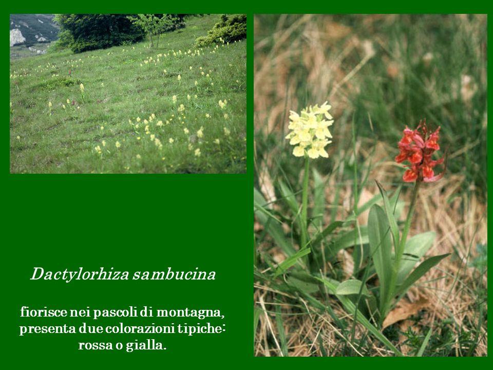 Dactylorhiza sambucina fiorisce nei pascoli di montagna, presenta due colorazioni tipiche: rossa o gialla.