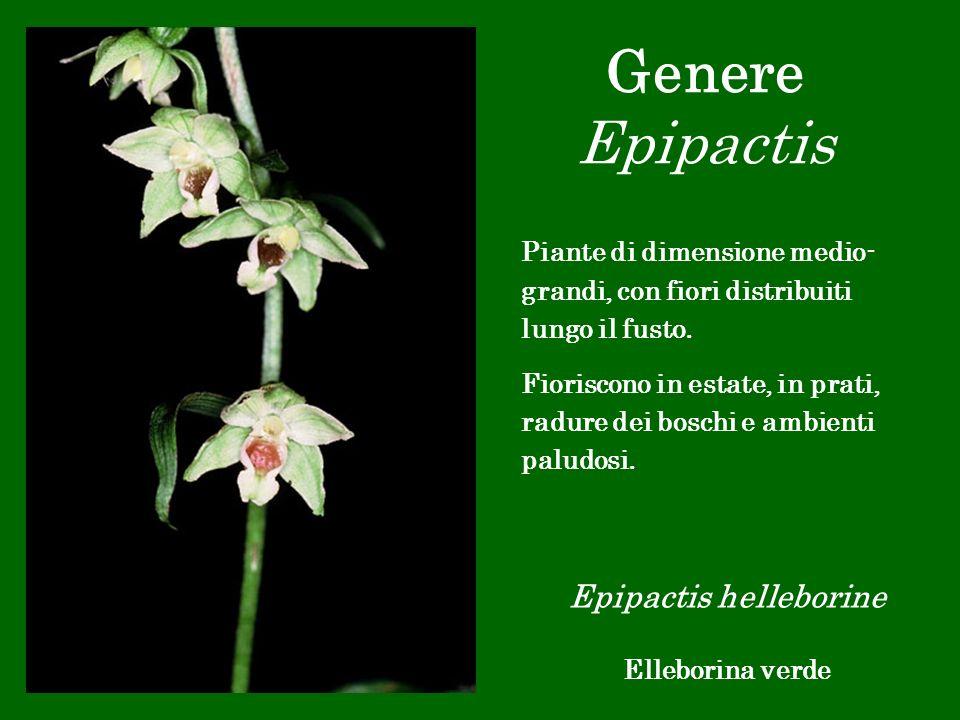 Genere Epipactis Epipactis helleborine Elleborina verde Piante di dimensione medio- grandi, con fiori distribuiti lungo il fusto. Fioriscono in estate