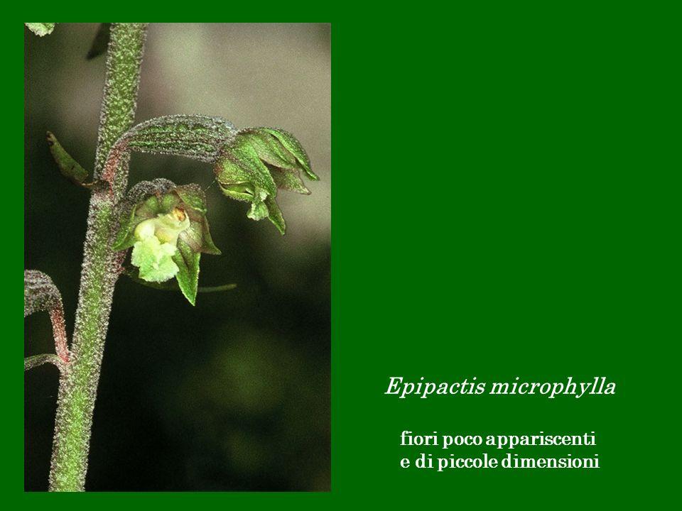 Epipactis microphylla fiori poco appariscenti e di piccole dimensioni
