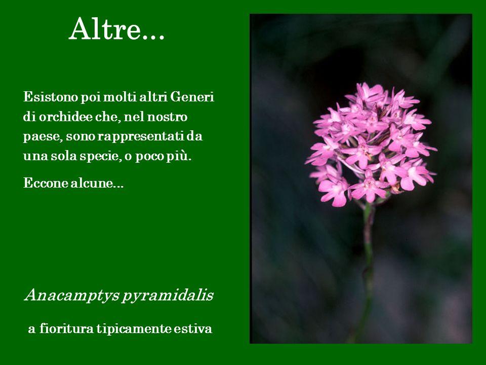 Altre... Anacamptys pyramidalis a fioritura tipicamente estiva Esistono poi molti altri Generi di orchidee che, nel nostro paese, sono rappresentati d