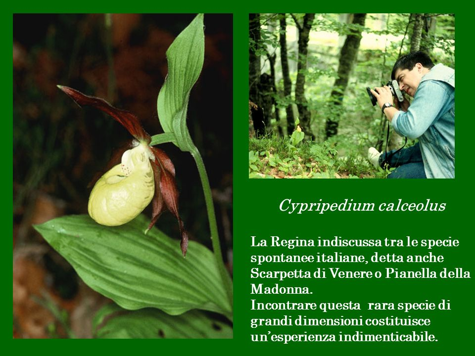 Cypripedium calceolus La Regina indiscussa tra le specie spontanee italiane, detta anche Scarpetta di Venere o Pianella della Madonna. Incontrare ques